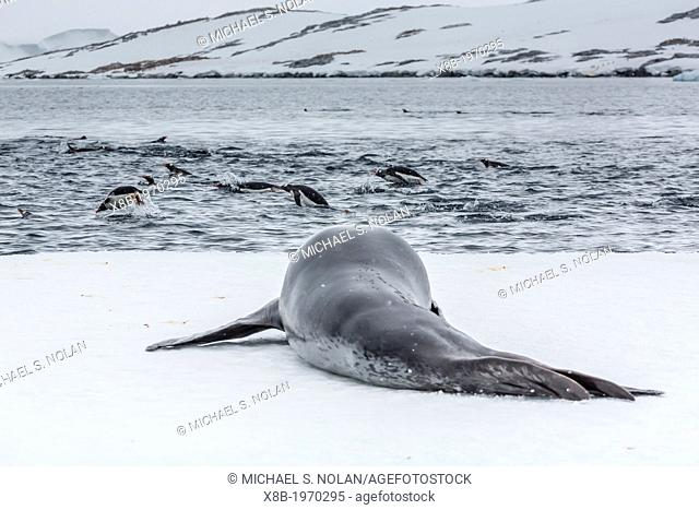 Adult leopard seal (Hydrurga leptonyx) stalking gentoo penguins (Pygoscelis papua) on ice floe in Port Lockroy, Antarctic Peninsula, Southern Ocean