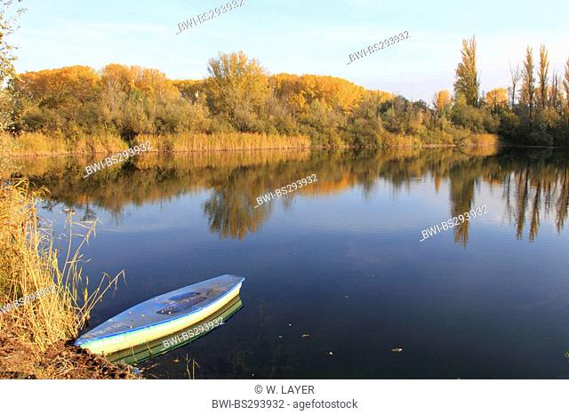 white poplar, silver-leaved poplar, abele (Populus alba), landscape at the Old Rhine with floodplain forest in autumn colours, Germany