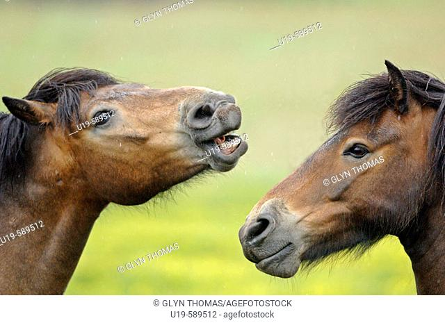 Friendly behaviour between stallions in a field