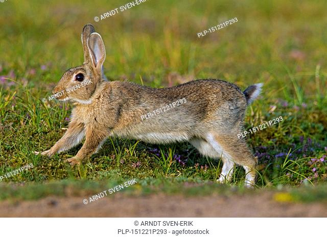 Young European rabbit / common rabbit (Oryctolagus cuniculus) running in meadow in summer