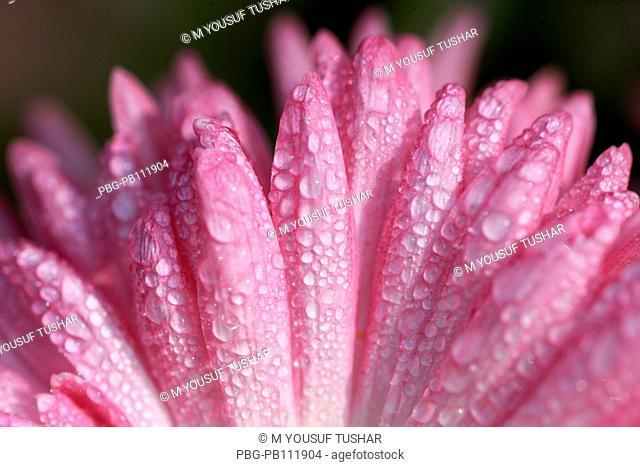 A cosmor flower Bangladesh