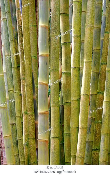 clumping bamboo (Bambusa spec.), view to the bamboo cane, Portugal, Azores, Sao Miguel, Ponta Delgada