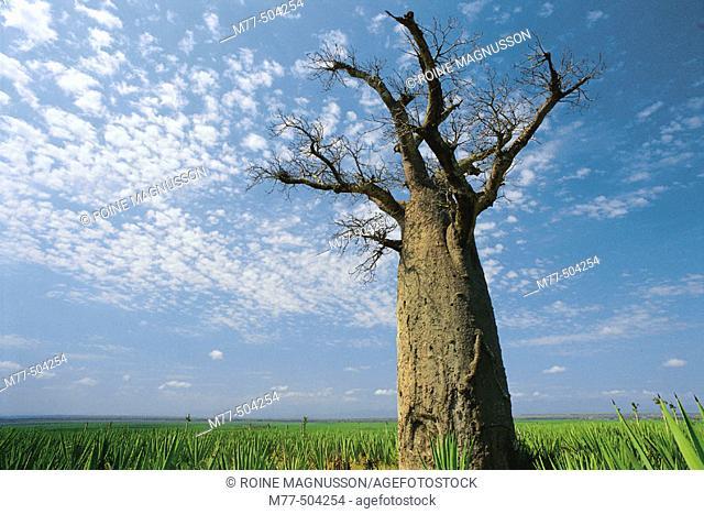 Baobab tree. Berenty. Madagascar