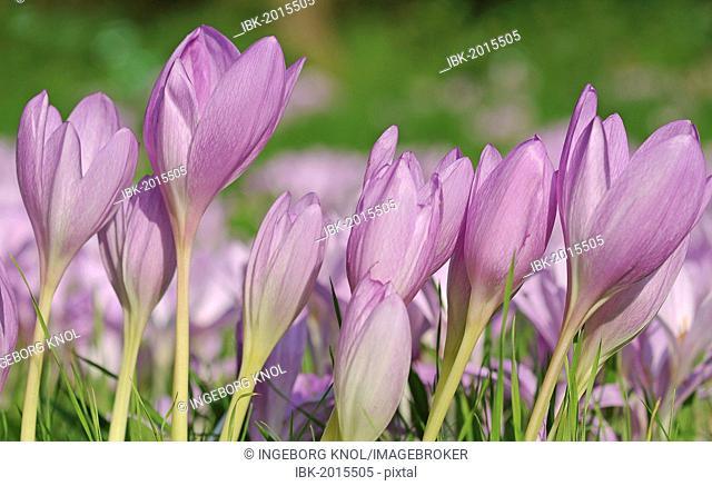 Autumn Crocus, Meadow Saffron or Naked Lady (Colchicum autumnale)