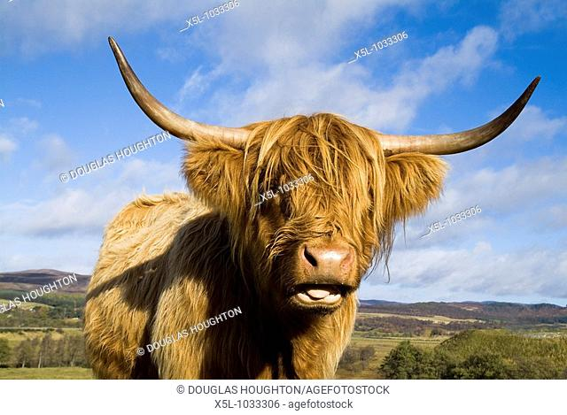 Highland cow CATTLE ANIMAL Scottish Highland cow close up of head and horns