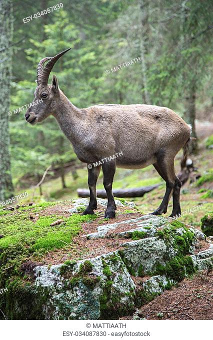 Female alpine ibex, Capra ibex, standing on a rock in a wood