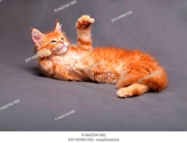 Adorable red solid maine coon kitten lying with relaxing look and holding foot up with beautiful brushes on the ears on grey background