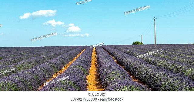 Plateau de Valensole (Alpes-de-Haute-Provence, Provence-Alpes-Cote d'Azur, France(, fields of lavender