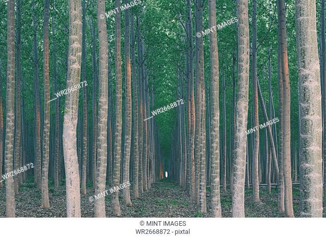A plantation of poplar trees, a commercial tree farm. Tall straight trunks and vivid green tree canopy