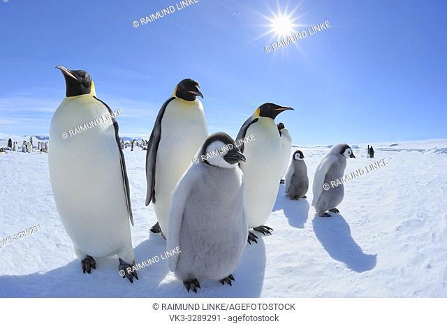 Emperor penguins, Aptenodytes forsteri, Adults and Chicks with Sun, Snow Hill Island, Antartic Peninsula, Antarctica