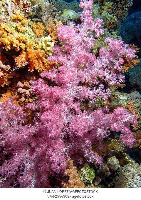 Soft Coral Alcyonium. Red Sea, Sharm el-Sheikh, Egypt