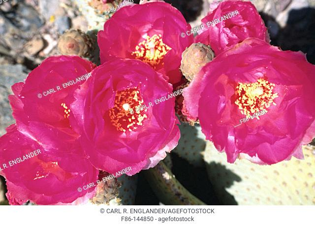 Beavertail cactus flowers (Opuntia basilaris). Death Valley National Park. California. USA