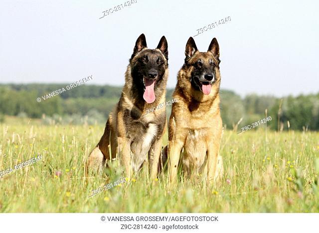 Dog Belgian shepherd Malinois two adult sitting in a meadow