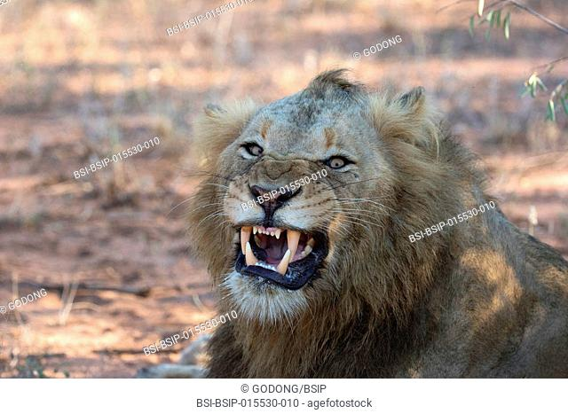 Kruger National Park. Lion yawning (Panthera leo). South Africa
