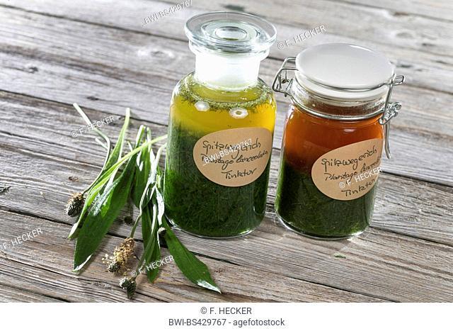 buckhorn plantain, English plantain, ribwort plantain, rib grass, ripple grass (Plantago lanceolata), tincture from buckhorn plantain is made