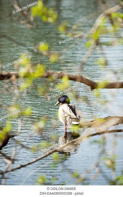 Duck wading in shallow water, rear view
