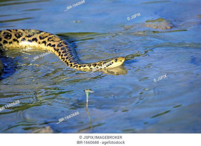 Yellow Anaconda (Eunectes notaeus), swimming in water, Pantanal, Brazil, South America