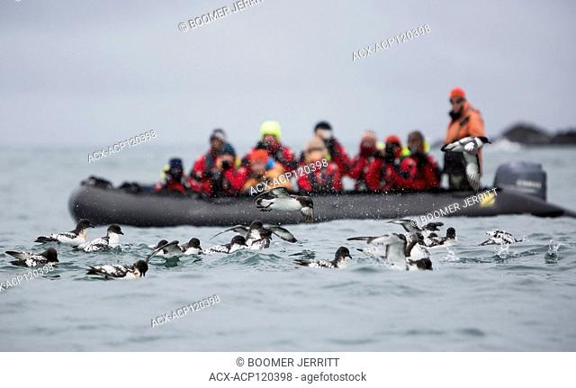 Cape Petrels (Daption capense) gather together to feed on a bait ball as a zodiak full of passengers looks on. Elephant Island, South Shetland Islands
