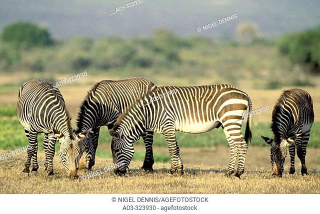 Cape Mountain Zebra (Equus zebra zebra), highly endangered species. De Hoop Nature Reserve, South Africa