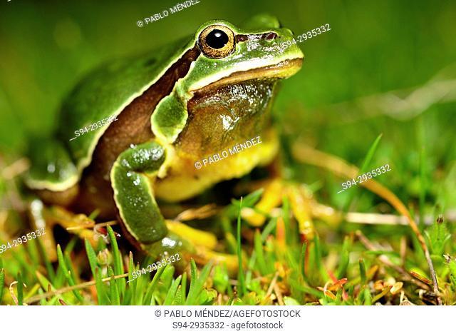Iberian tree frog or San Antonio tree frog (Hyla molleri) in Valdemanco, Madrid, Spain