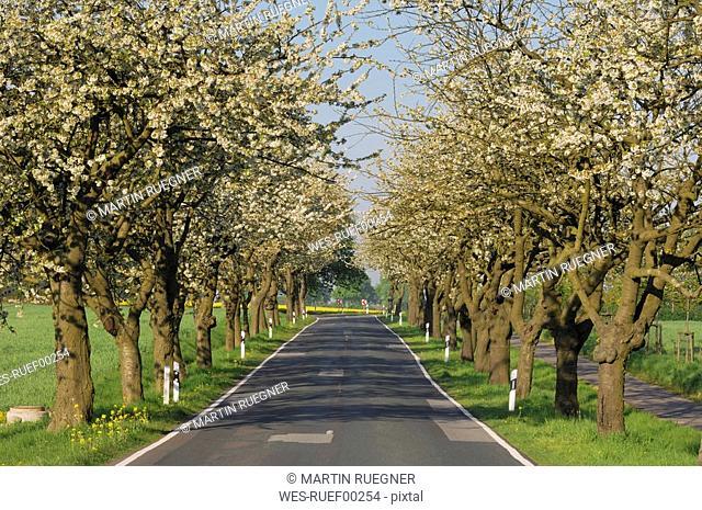 Germany, Mecklenburg-Western Pomerania, Cherry Blossom trees along road