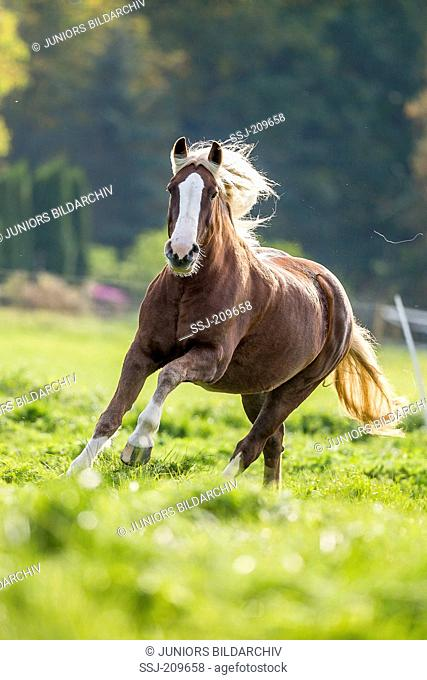 Black Forest Horse. Mare galloping on a pasture. Germany