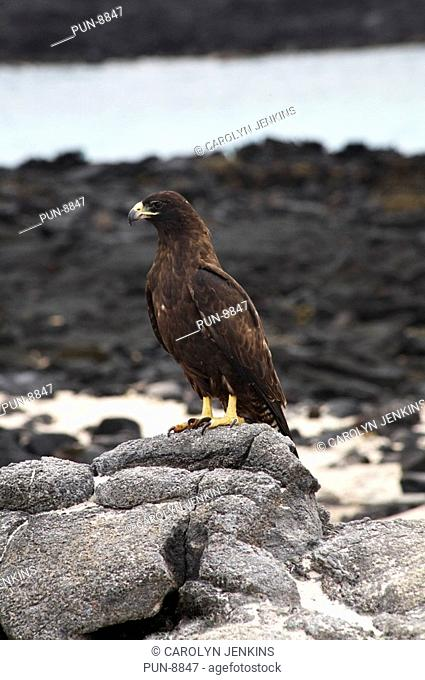 Galapagos hawk Buteo galapagoensis standing on rock at Chinese Hat Islet, Santiago Island, Galapagos, Ecuador in September