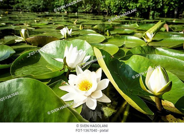 Swamp full of lotus