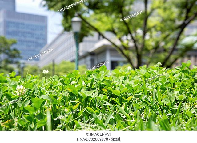 Dutch clover blooming at downtown area