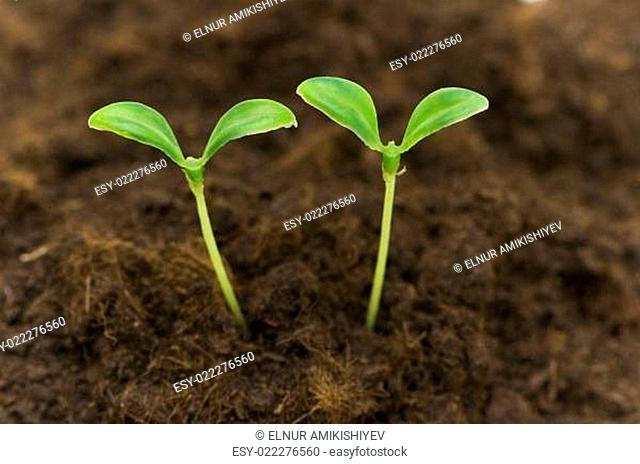 Two green seedlings growing out of soil