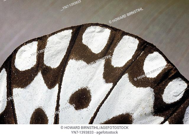 extreme close-up of the wing of a batik beauty butterfly Idea stolli