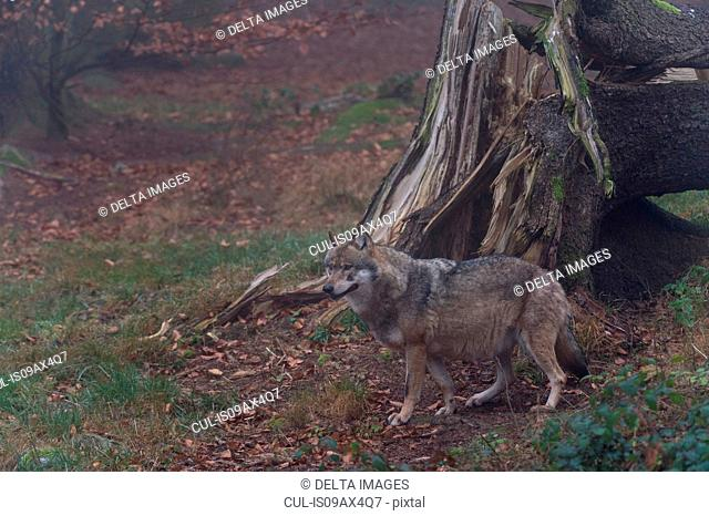 Grey wolf (Canis lupus) by fallen tree, Bavarian forest national park, Bavaria, Germany