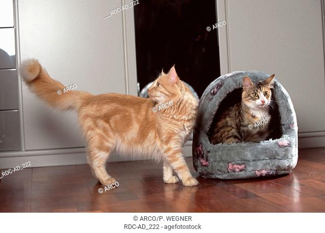 Norwegian Forest Cats black-tabby-tortie-white and red-silver-classic