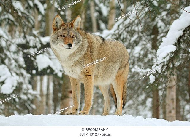 coyote - standing in snow / Canis latrans