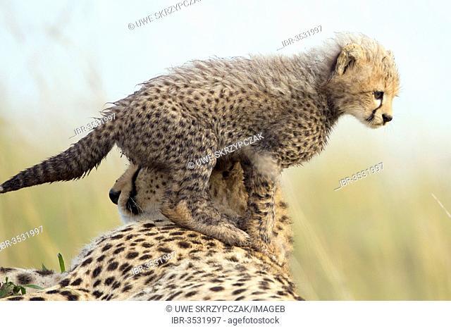 Cheetahs (Acinonyx jubatus), female with cub, several weeks, cub climbing on its mother