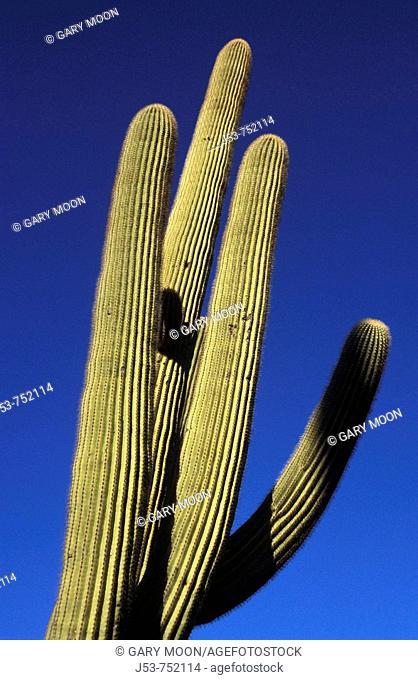 Saguaro cactus detail, Saguaro National Park, Tuscon Mountain District west unit, Tucson Arizona USA