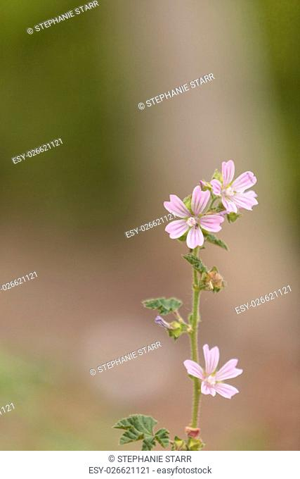 Pink and white Spring Beauty flower Claytonia virginica blooms in a field in Southern California