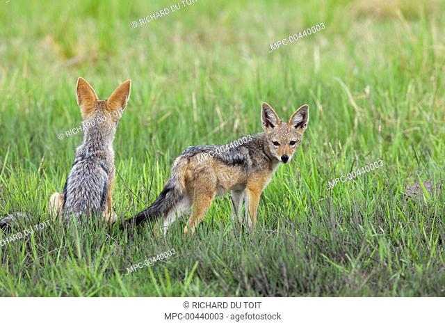 Black-backed Jackal (Canis mesomelas) juveniles, Chobe National Park, Botswana