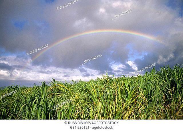 Rainbow over sugar cane field. Humakua Coast. The Big Island. Hawaii. USA