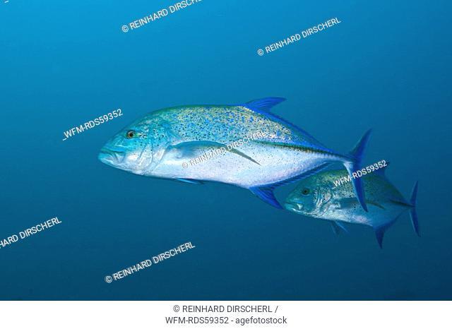Bluefin Trevally, Caranx melampygus, Fishhead, North Ari Atoll, Maldives