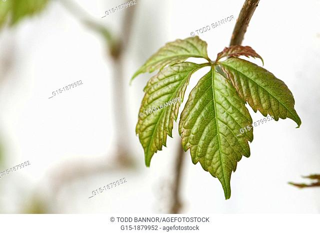 Virginia creeper leaves in early spring