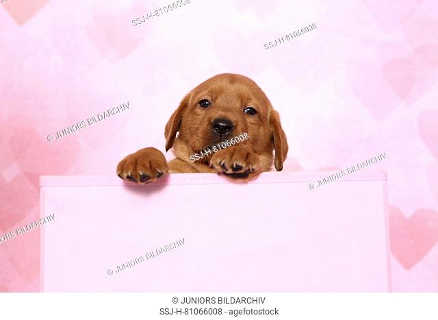 Labrador Retriever. Puppy (6 weeks old) sitting in a pink box. Studio picture seen against a pink background with heart print. Germany