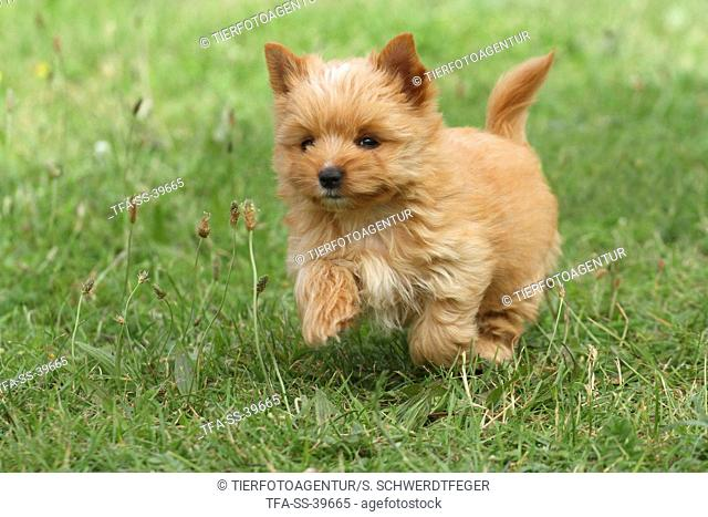 running Yorkshire Terrier Puppy