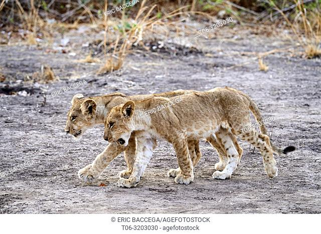 Two African lion cubs walking (Panthera leo) South Luangwa National Park, Zambia