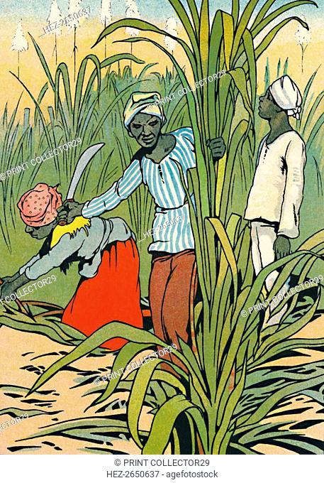 'At Work Among The Sugar-Canes', 1912. Artist: Charles Robinson