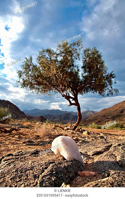 lone shepherd's tree in the Ai-Ais Richtersveld Transfrontier Park in South Africa
