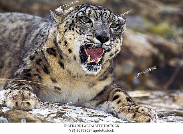Snow Leopard or Ounce, uncia uncia, Adult with Open Mouth
