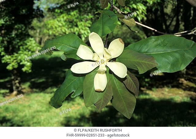 Fraser Magnolia Magnolia fraseri leaf and flower