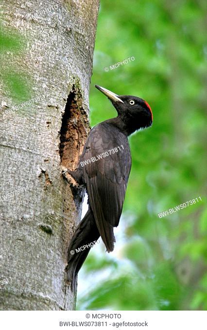 black woodpecker Dryocopus martius, at tree hole, Austria