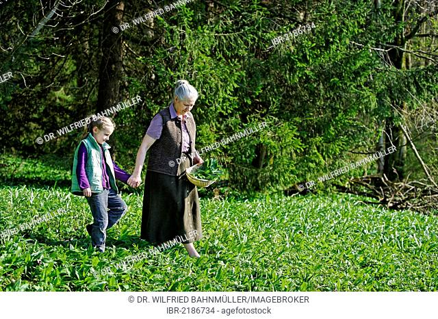 Grandmother and granddaughter picking Ramsons or Wild Garlic (Allium ursinum)